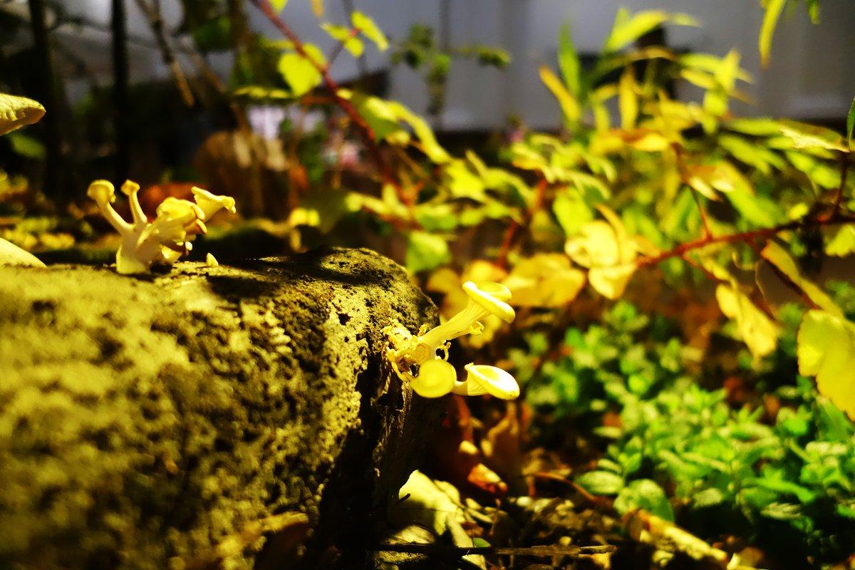 London Glades mushroom