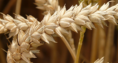 agriculture-barley-blur-40381.png