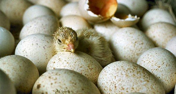 chicks_hatching_usda95c1973.jpg