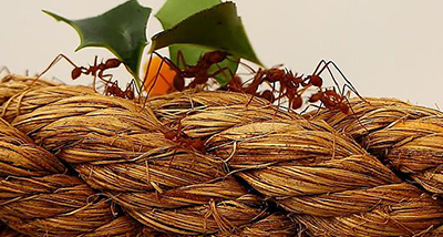 leaf_cutter_ants_-_butterflyworld_7766667614-1_0_1.png